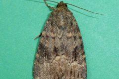 Amphipyra berbera svenssoni -  Copper Underwing - Kirk Smeaton