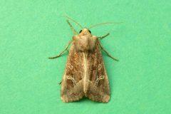 Celaena  leucostigma - Crescent - Kirk Smeaton