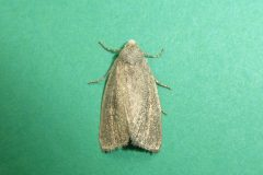 Coenobia rufa - Small Rufous - Kirk Smeaton