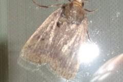 Amphipyra tragopoginis - Mouse moth, Cusworth Lane, Doncaster