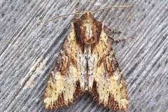 Apamea crenata - Clouded-bordered Brindle, Austerfield.