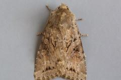 Apterogenum ypsillon - Dingy Shears, Austerfield.