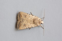 Caradrina clavipalpis - Pale Mottled Willow, Austerfield.