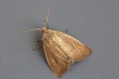 Coenobia rufa - Small Rufous, Austerfield.