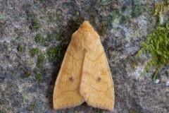 Enargia paleacea - Angle-striped Sallow, Austerfield.