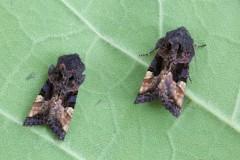 Euplexia lucipara - Small Angle Shades, Austerfield.