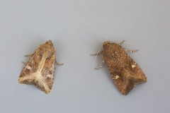 Helotropha leucostigma - The Crescent, Austerfield.
