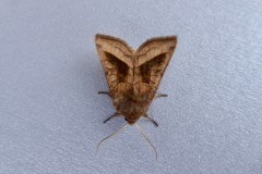 Hydraecia micacea -  Rosy Rustic , Intake, Doncaster