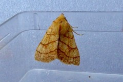 Charanyca trigrammica -  Treble Lines, Intake, Doncaster