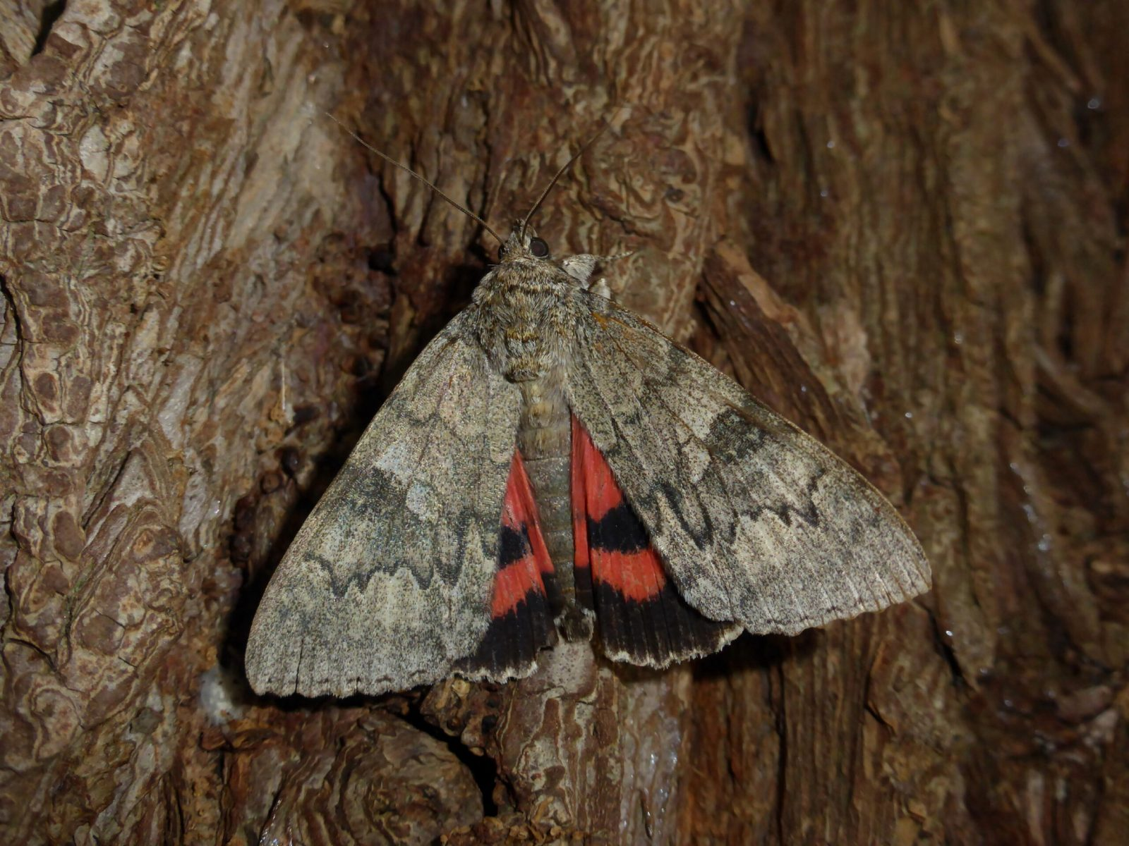 Catocala nupta - Red Underwing - Kirk Smeaton