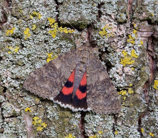 Catocala nupta - Red Underwing, Austerfield.