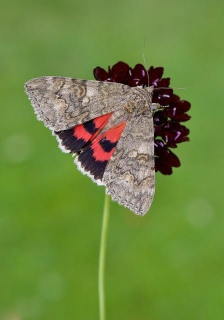 Catocala nupta - Red Underwing, Austerfield.