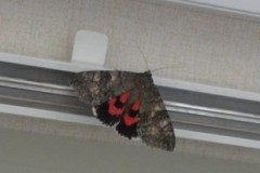 Catocala nupta - Red Underwing, Cusworth Lane, Doncaster