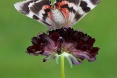 Catocala nupta - Red Underwing, (underside), Austerfield.