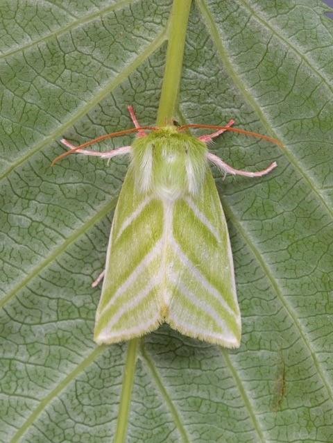 Pseudoips prasinana - Green Silver-lines.