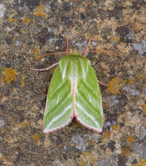 Pseudoips prasinana - Green Silver-lines, Austerfield.