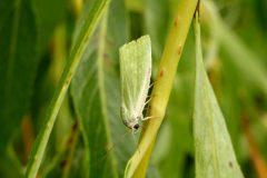 Earias clorana - Cream-bordered Green Pea - Kirk Smeaton
