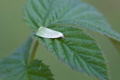 Earias clorana - Cream-bordered Green Pea, Austerfield.