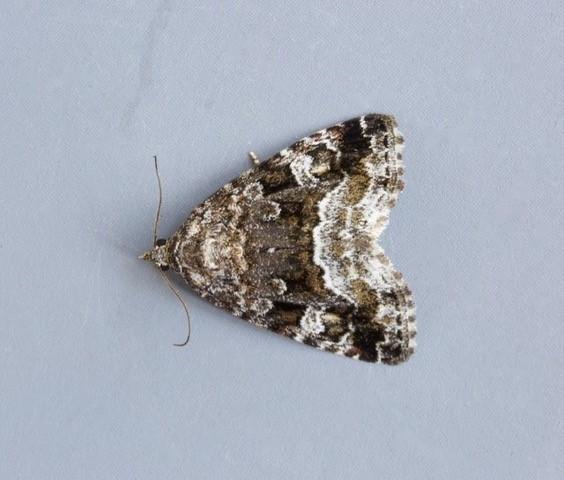 Deltote pygarga - Marbled White Spot.