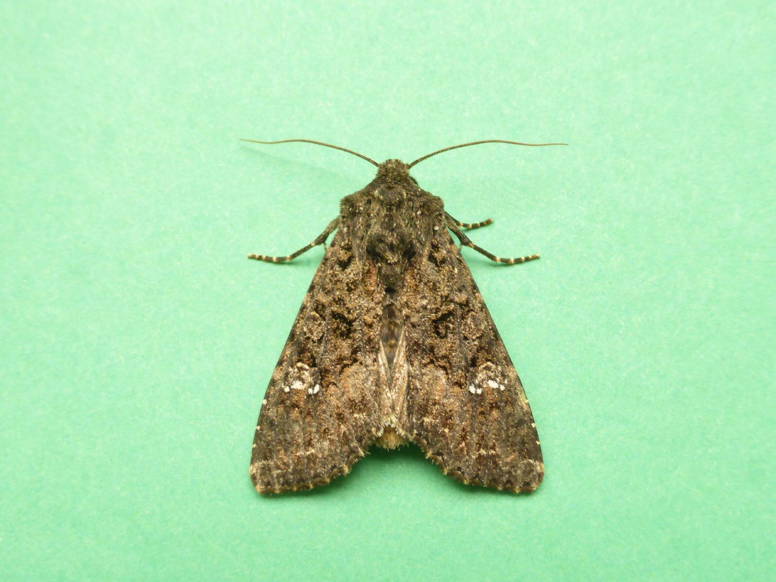 Mamestra brassicae - Cabbage Moth - Kirk Smeaton