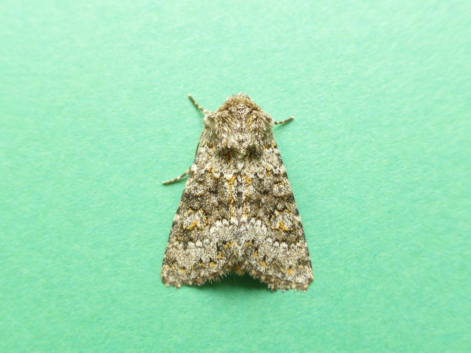 Hecatera dysodea - Small Ranunculus - Kirk Smeaton