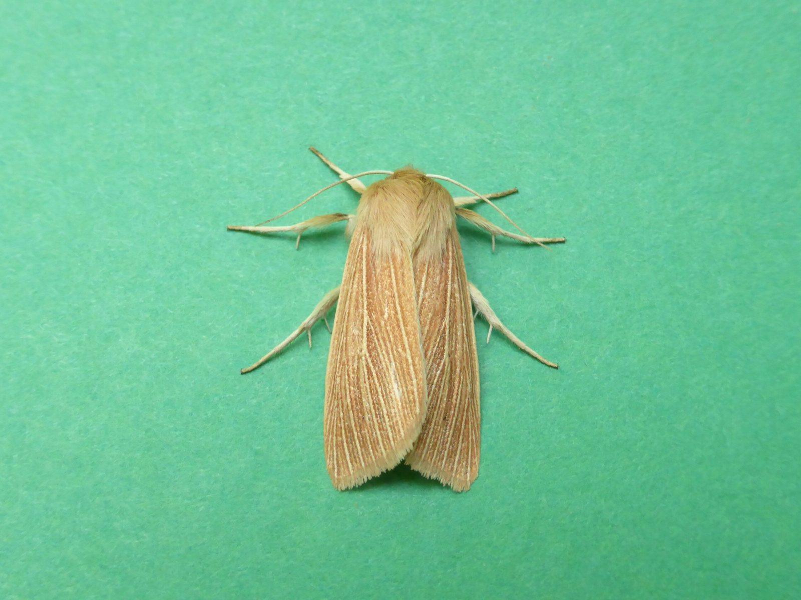 Mythimna pallens - Common Wainscot - Kirk Smeaton