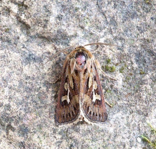 Cerapteryx graminis - Antler Moth, Austerfield.