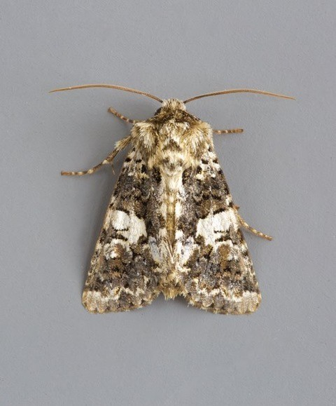 Hadena confusa - Marbled Coronet, Austerfield.
