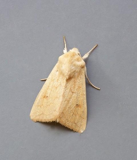 Mythimna vitellina - The Delicate, Austerfield.