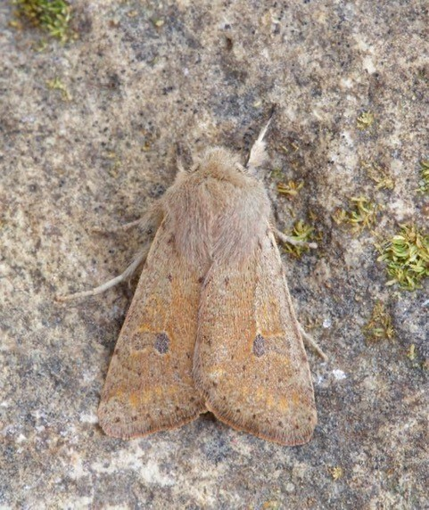 Orthosia cruda - Small Quaker, Austerfield.
