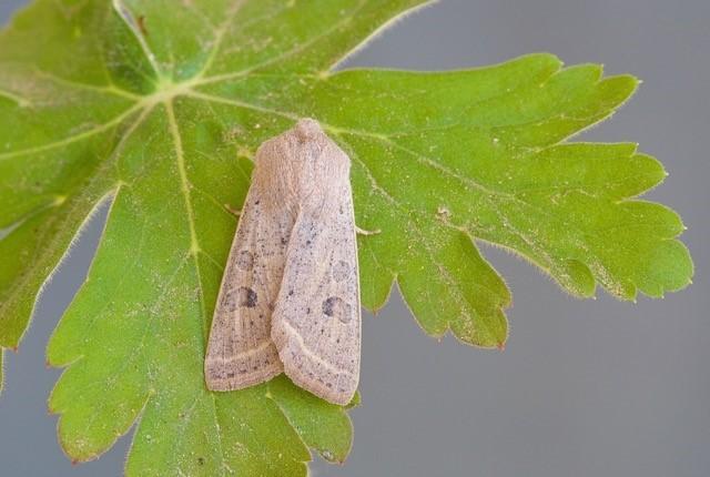 Orthosia gracilis - Powdered Quaker, Austerfield.
