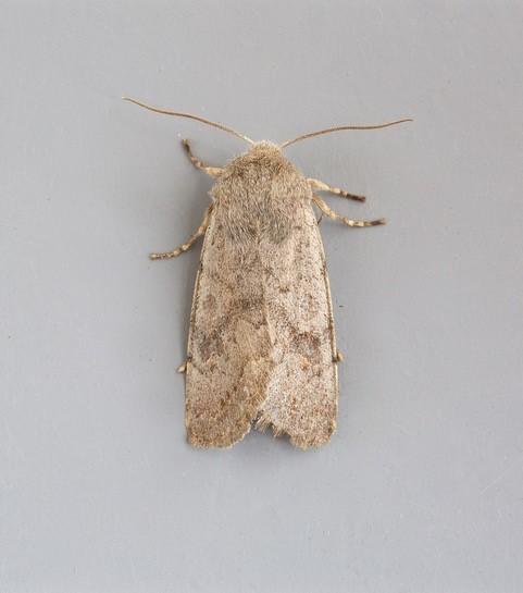 Orthosia populeti - Lead-coloured Drab, (female), Austerfield.