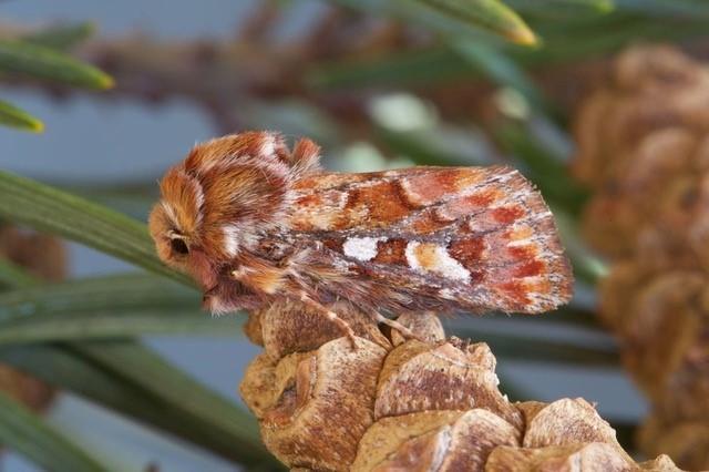 Panolis flammea - Pine Beauty, Austerfield.