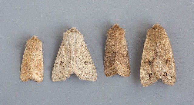 Quakers comparison, Small, Powdered, Common and Twin-spotted. Austerfield.