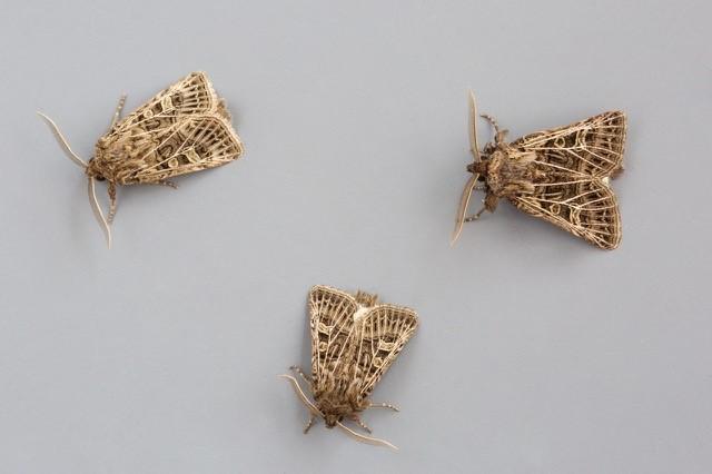 Tholera decimalis - Feathered Gothic, Austerfield.
