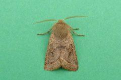 Orthosia populeti - Lead-coloured Drab male - Kirk Smeaton