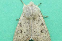 Orthosia gracilis - Powdered Quaker - Kirk Smeaton