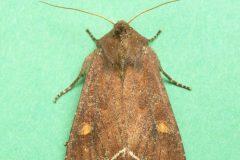 Lacanobia oleracea - Bright-line Brown-eye - Kirk Smeaton