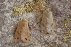 Anorthoa munda - Twin-spotted Quaker, Austerfield.