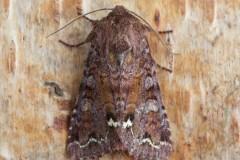 Ceramica pisi - Broom Moth, Austerfield.