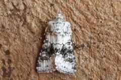 Hecatera bicolorata - Broad-barred White, Austerfield.