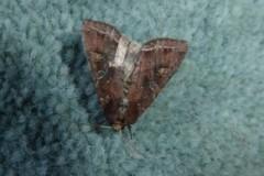 Lacanobia olerace - Bright-line Brown-eye, Cusworth Lane, Doncaster