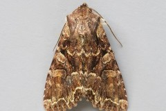 Lacanobia thalassina - Pale-shouldered Brocade, Austerfield.