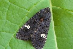Melanchra persicariae - Dot Moth, Austerfield.