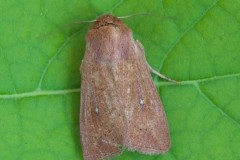 Mythimna albipuncta - White-point, Woodside Nurseries, Austerfield.