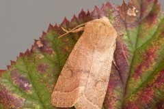 Orthosia cerasi - Common Quaker, Austerfield.