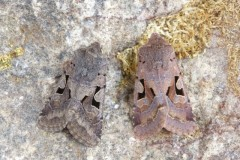 Orthosia gothica - Hebrew Character, Austerfield.