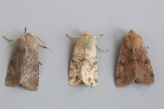 Orthosia incerta - Clouded Drab, Austerfield.