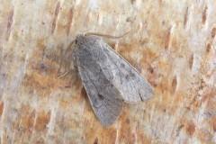 Orthosia populeti - Lead-coloured Drab, (male), Austerfield.