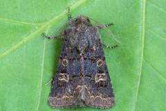Tholera cespitis - Hedge Rustic, Austerfield.